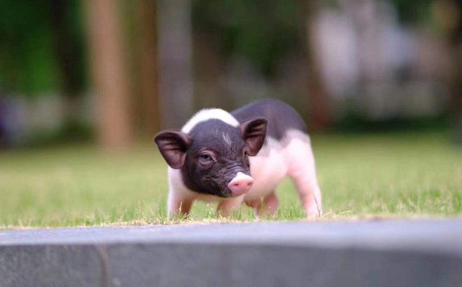 """Lợn mini nhập lậu Trung Quốc đang bị """"tuýt còi"""" trong bối cảnh dịch tả lợn châu Phi đang diễn biến phức tạp."""