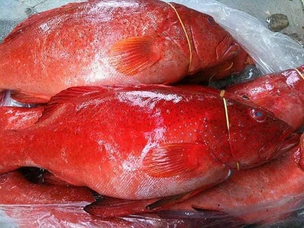 Một kg cá Mú đỏ sống có giá gần triệu đồng song vẫn không có hàng để bán.