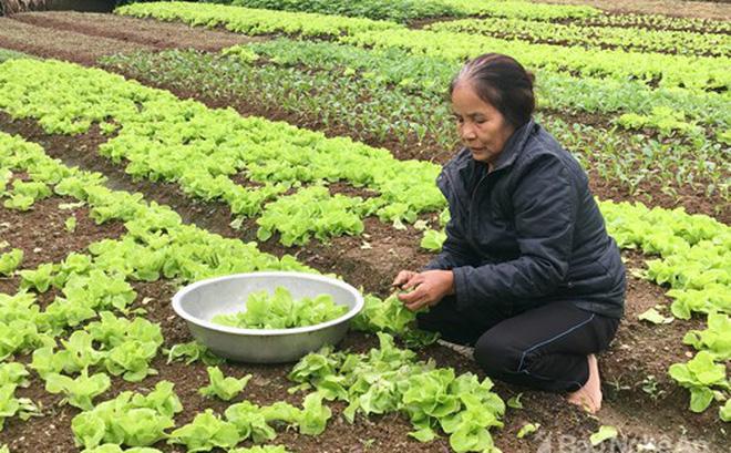 Mảnh vườn của bà Trương Thị Nguyệt chỉ vài chục m2 đủ cung cấp rau xanh cho gia đình, lúc dư thừa có thể xuất bán. Bà cho biết: dùng ớt, tỏi, gừng giã nhỏ rồi ngâm lấy nước để phun nếu có sâu. Ảnh: Lê Ngọc Phương