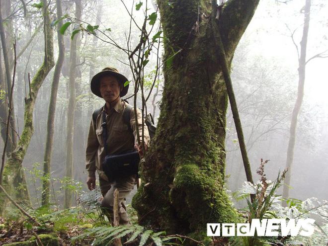 Ông Lâm bên một cây chè rừng lớn.