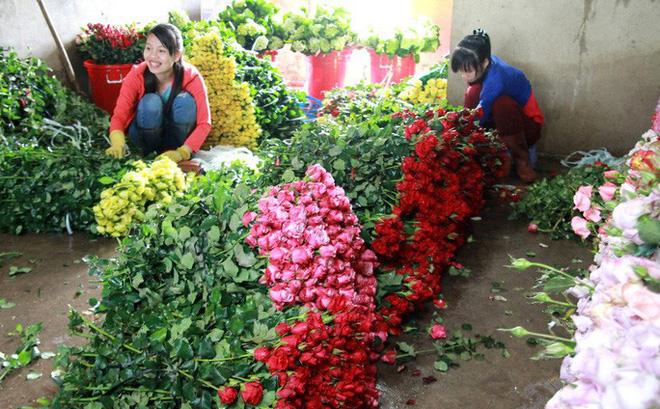 Giá các loại hoa hồng Đà Lạt giảm mạnh dịp lễ Tình nhân so với cùng kỳ năm trước.