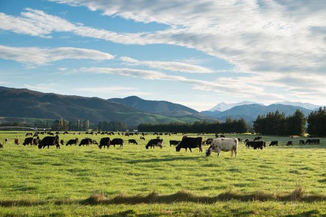 Được thiên nhiên ưu đãi, New Zealand trở thành thiên đường của bò sữa và cho ra đời nguồn sữa thiên nhiên chất lượng cao.