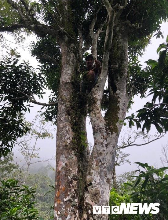 Cây chè rừng cổ thụ to đến nỗi người trèo lên ngọn nhìn bé xíu.