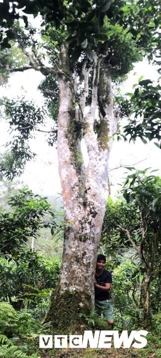 Tác giả bên cây chè rừng khổng lồ ở dãy Tây Côn Lĩnh.