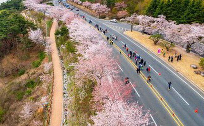 Con đường rợp hoa anh đào tại Hàn Quốc. Ảnh: Gyeongju Cherry Blossom Marathon