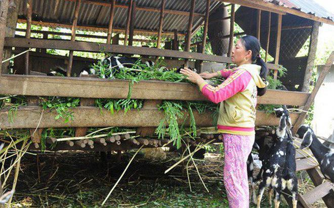 Phong trào nuôi dê đang phát triển rất mạnh ở huyện vùng biên Bù Đốp, tỉnh Bình Phước. Ảnh: Đ.T