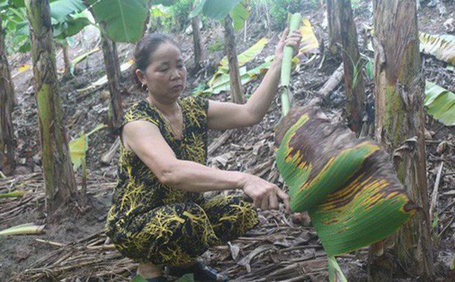 Nắm bắt được xu thế của thị trường, nhiều hộ dân đã tận dụng khai thác thêm lá chuối để tăng thu nhập.
