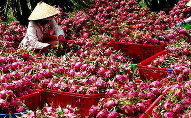 Thanh long là một trong những mặt hàng nông sản Việt Nam được các nước ưa chuộng