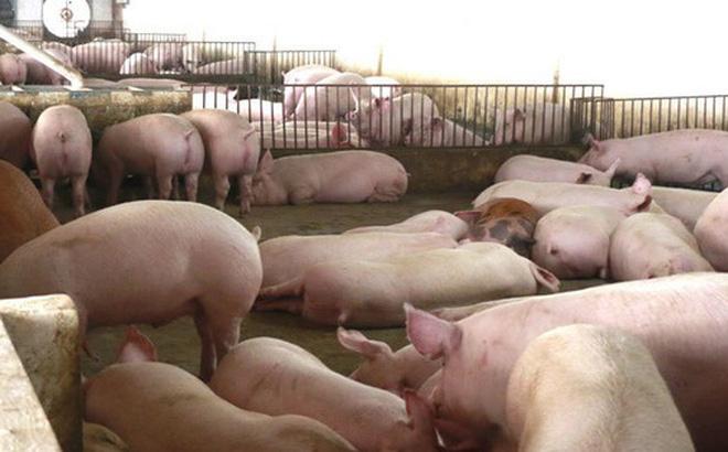 Giá thịt lợn hơi đang có xu hướng giảm mạnh