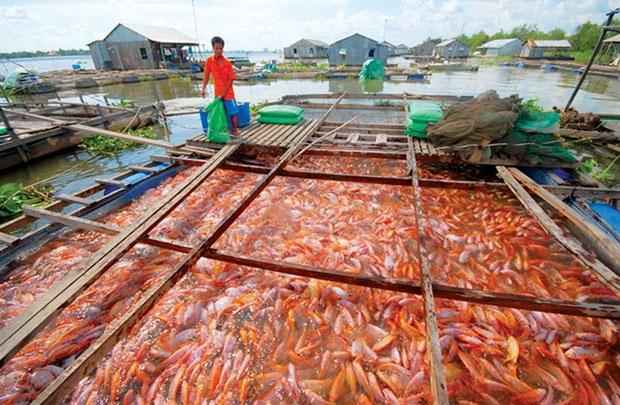 Một bè cá điêu hồng trên sông Hậu
